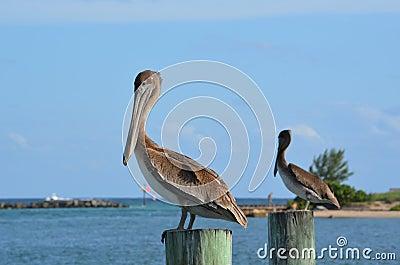 Pelican Stare