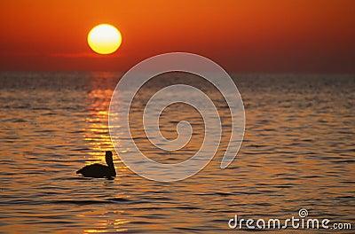 Pelican at sunrise, Florida Keys, Horizontal