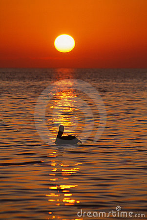 Pelican at sunrise, Florida Keys, Vertical