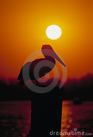 Free Pelican Sunset Royalty Free Stock Image - 3186176