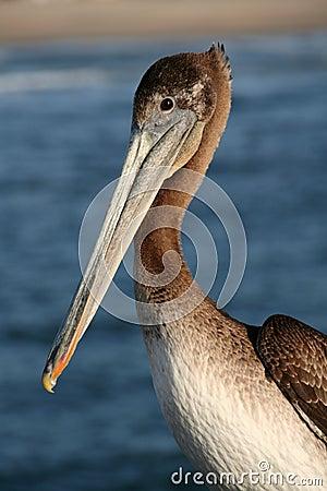 Pelican at Venice Beach, California