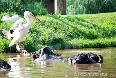 Pelican and Water Buffalo