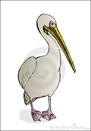 Pelican on white background