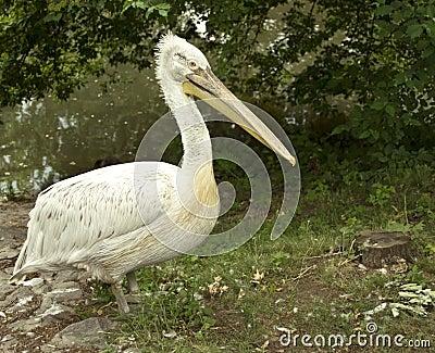 Pelican in wildlife
