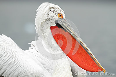 Pelicano Dalmatian
