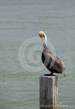 Pelicano de Brown (occidentalis do Pelecanus)