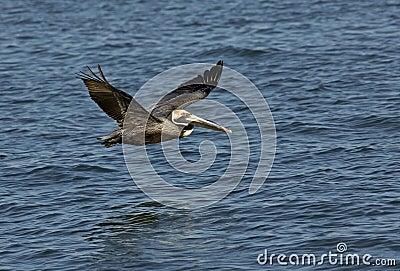 Pelicano de Brown (occidentalis do Pelecanus)