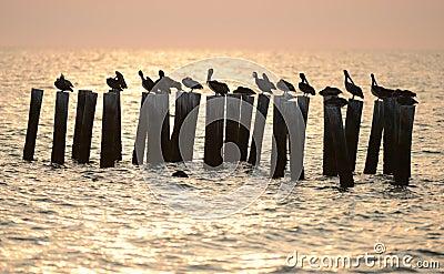 Pelicanos no oceano no nascer do sol