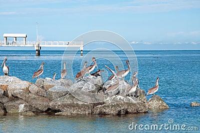 Pelicanos no parque de DeSoto do forte