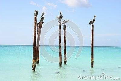 Pelicanos que descansam em pólos de madeira, Aruba, do Cararibe