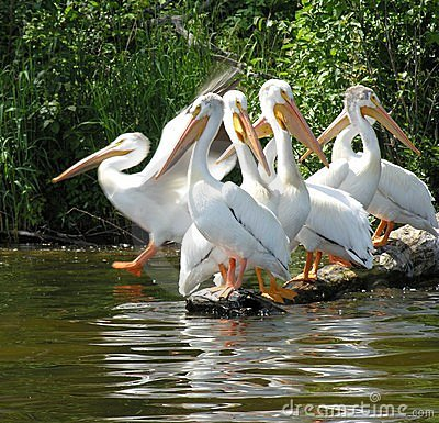 Free Pelicans Stock Images - 163644