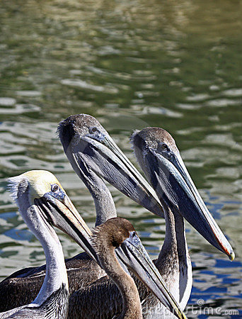 Free Pelicans Stock Image - 17996541
