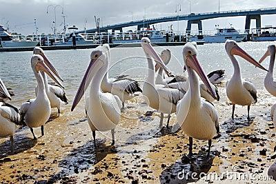 Pelicans Editorial Stock Image
