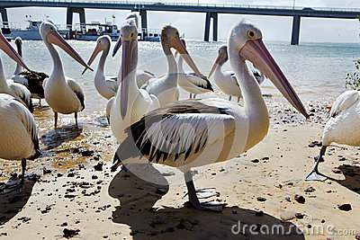 The Pelicans Editorial Image
