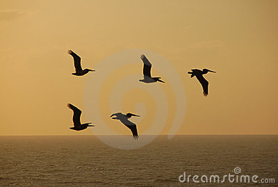 Pelicans against sunset