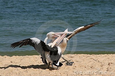 Pelicans Fighting on Beach