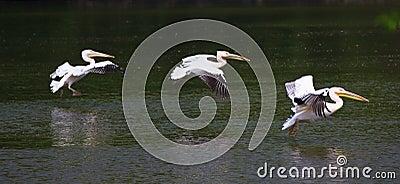 Pelicans Fleet