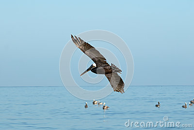 Pelicans in Flight over a Blue Sea