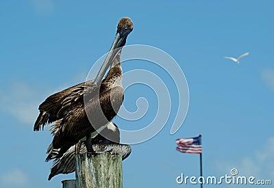 Pelicans in Florida (Pelecanus occidentalis)
