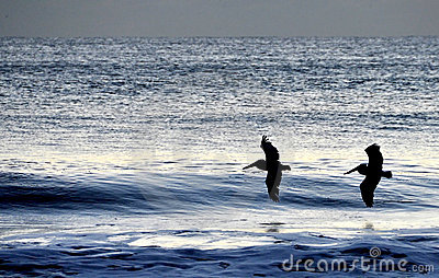 Pelicans flying over the morning waves