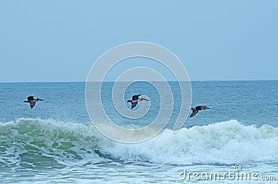 Pelicans Flying Over the Ocean Waves