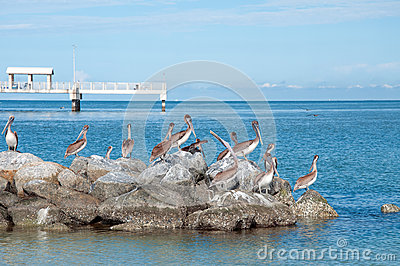 Pelicans at Fort DeSoto Park