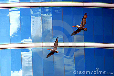 Pelicans and Glass