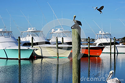 Pelicans in the Harbor Colorful Yachts Luxury