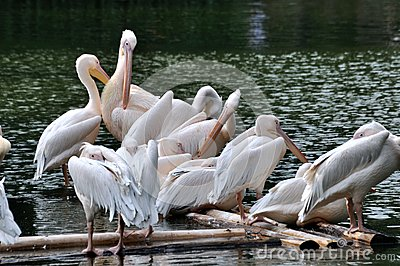 Pelicans on lake