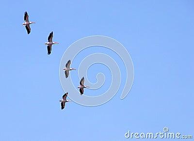 Pelicans migrating Stock Photo
