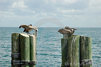 Pelicans on mooring poles
