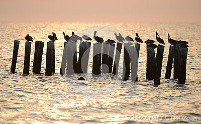 Pelicans in ocean at sunrise