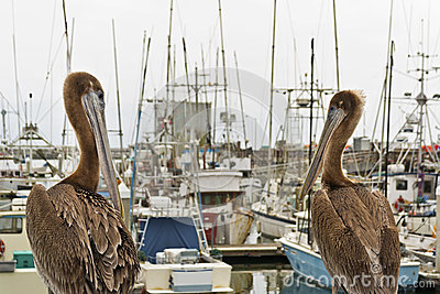 Pelicans overlook the Half Moon Bay Marina