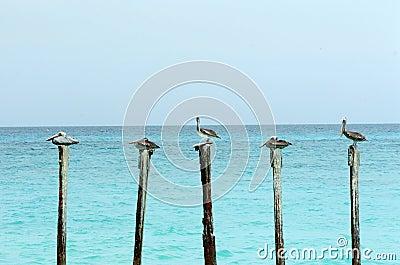 Pelicans on Poles