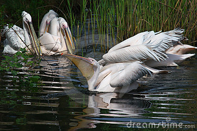 Pelicans in the reed