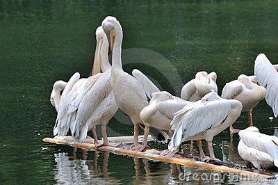 Pelicans rest on lake