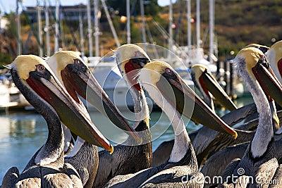Pelicans in San Carlos, Sonora Mexico