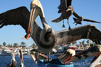Pelicans and seagulls feeding