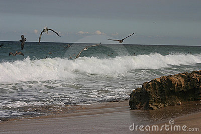 Pelicans on Shoreline