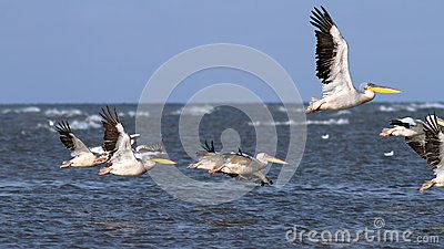 Pelicans taking off in group