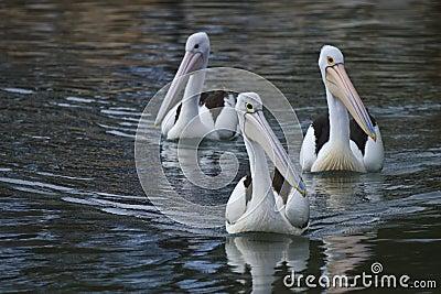 Pelicans trio