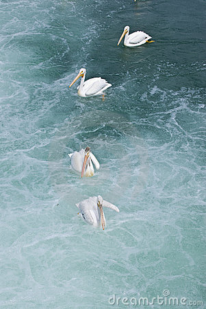 Pelicans in water