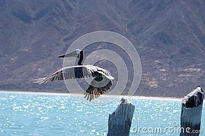 Pelikan im Flug