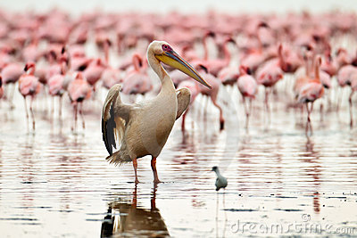 Pelikan trocknet seine Flügel