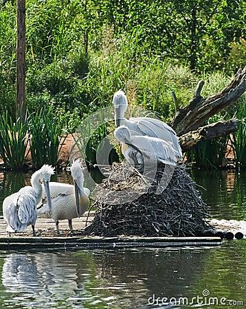 Pelikan-Vögel