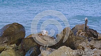 Pelikanen zitten op rots Achtergrond van Turkooise water en blauwe lucht Caraïbisch stock footage