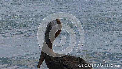 Pelikanen zitten op rots Achtergrond van Turkooise water en blauwe lucht Caraïbisch Aruba stock video