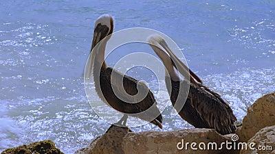 Pelikanen zitten op rots Achtergrond van Turkooise water en blauwe lucht Caraïbisch Aruba stock videobeelden