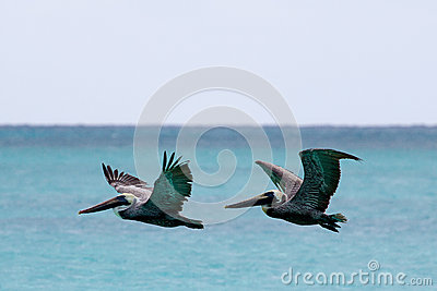 Pelikanflyg över havet