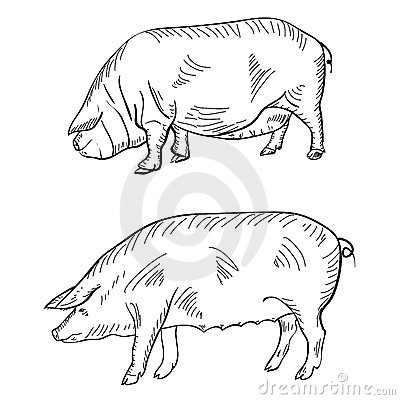 Pen drawing depicting a pig